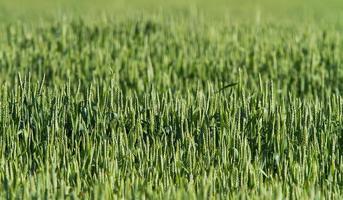 Green wheat field background photo