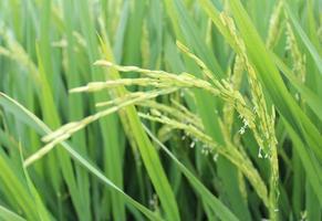 rijst bloemen