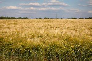 Germany, North Rhine-Westphalia, grain field, barley field photo