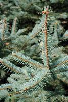 pine wood photo