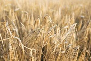Wheat field and blue sky photo
