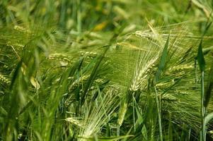 Green Barley field in Kargil, Ladakh,India
