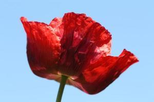 amapola roja sola