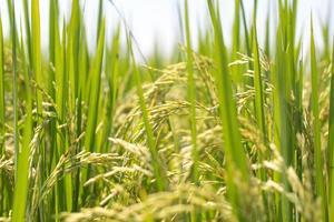 planta de arroz