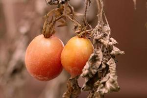 Tomatoes on withered plant. photo