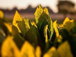 Tobacco plant in field