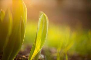 Tulip plant under sunlight