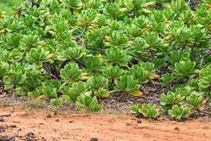 groene planten op hawaii, usa.