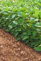 Soy plants in cultivated agricultural field photo