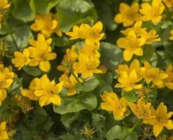 Planta de caléndula de pantano con flores amarillas