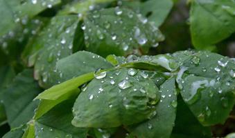 Gotas de agua clara sobre la planta de trébol