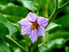 fiore viola di melanzana, chionathus parkinonii