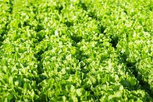 Endive plants in the field from close photo