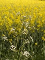 oil seed rape plants near Branston, Staffordshire,UK photo