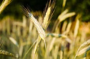 Barley plant spikelets in the summer harvest field