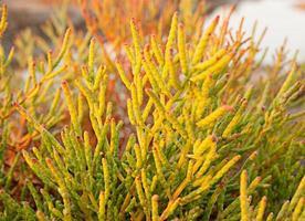 halófita- planta que crece en aguas de alta salinidad foto