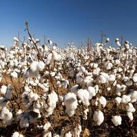 Vista cercana del cultivo de algodón en el campo foto