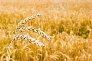 campo de trigo dorado foto