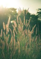 Vintage filtered of flowering grass. photo