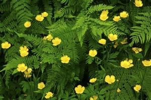 Creeping buttercups along wetlands trails of White Memorial, Con