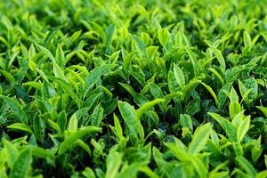 Tea Plant photo