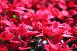 Weihnachtspflanze