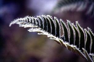 Frosty plants photo