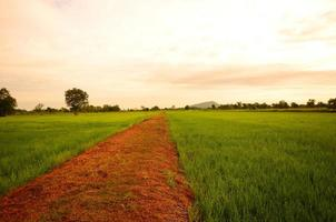 Rice Paddy Fields at Countryside