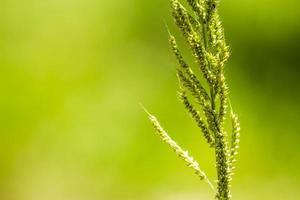 flor de hierba