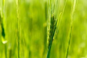 Ear of green barley photo