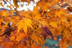hojas de arce amarillas con fondo de cielo azul foto