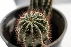 Cactus closeup photo