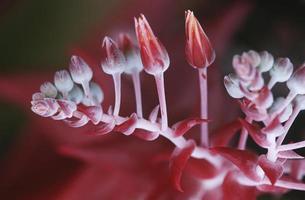 Succulent plant flowering