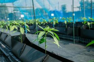 pimienta, planta de chile.