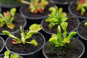 plante d'intérieur sundews