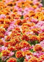 campo de flores coloridas à luz do sol