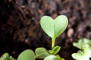 Green heart plant sprouting in garden