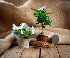 flores blancas de saintpaulias y árbol de planta de café en envases de papel en envases de papel