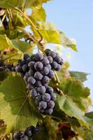 rijpe tros druiven.