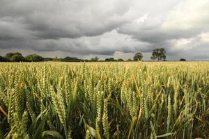 Field of wheat with storm clouds