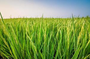 paddy rice field