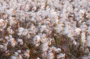 Irish bog cotton