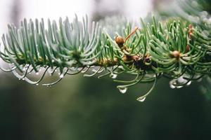 gotas de orvalho em galho de árvore de abeto