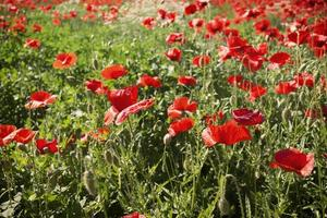Red poppies fields