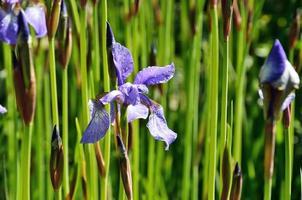 Irises flowering in the meadow photo