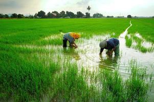 dos trabajadores en el campo de arroz verde foto