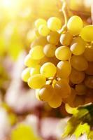 uvas brancas