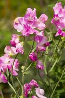 pisello odoroso (lathyrus odoratus)