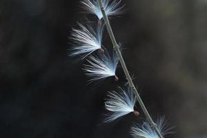 Milkweed fluff seeds