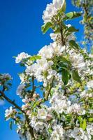 Flowers on a cherry tree photo